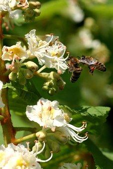 Bees, Flower, Horse Chestnut, Spring, Pollen, Nature