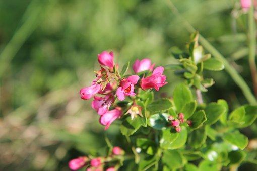 Shrub Flower, Flowering, Shrub, Garden, Haie Fleurie
