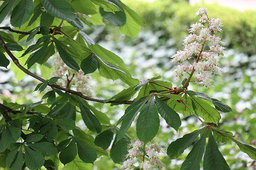 Spring, Nature, Green, Horse Chestnut, Flowers, Foliage