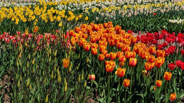 Tulips, Colorful Meadow, Spring Flowers, Garden Flowers