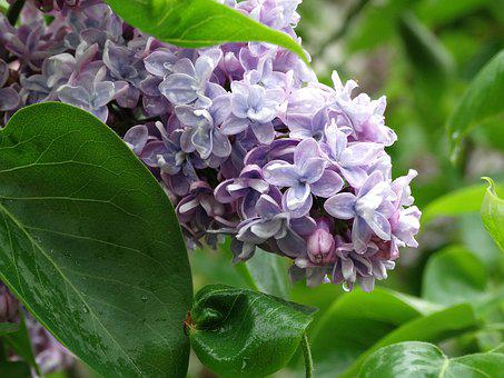 Without, Lilac, Flowers, Spring, May, Garden, Flower