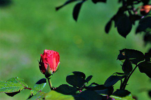 Rose, Spring, Nature, Pink, Red, Romantic, Love, Garden