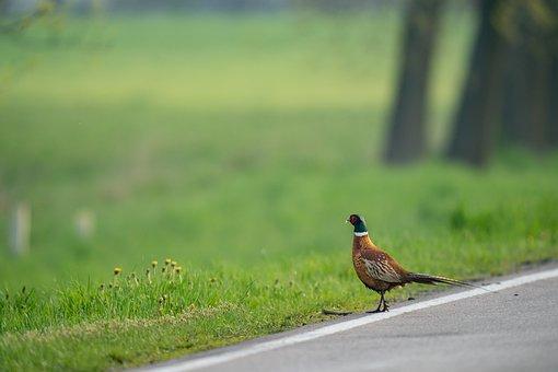 Bird, Pheasant, Nature, Road, Grass