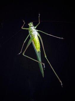 Grasshopper, Insect, Green, Wild, Wildlife, Australia