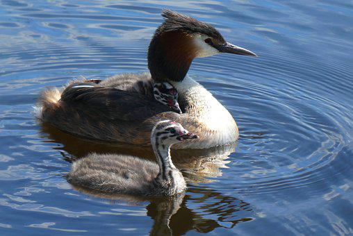 Great Crested Grebe With Young Great Crested Grebe