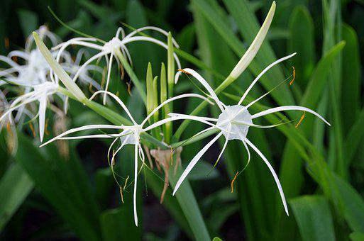 Hymenocalle, Hymenocallis, Littoralis, Lily-spider
