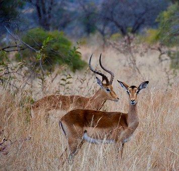 Impala, Africa, Antelope, Wildlife, Safari, Animal