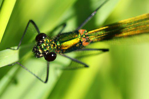 Banded Demoiselle, Dragonfly, Female, Insect, Nature