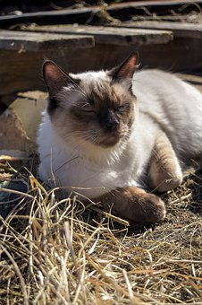 Cat, Kitten, Ragdoll, Sun, Relaxed, Pet, Kitty, Cute