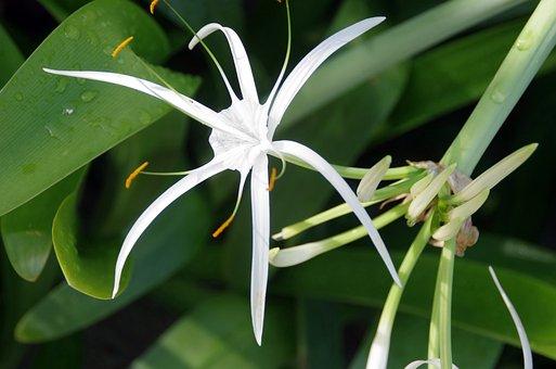 Hymenocallis, Littoralis, Lily-spider, Hyménocalle
