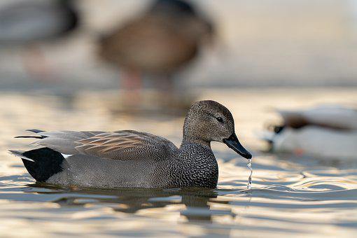 Gadwall, Mareca Strepera, Bird, Avian, Water, Pond