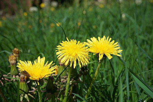 Dandelion, Flower, Nature, Meadow, Landscape, Grass