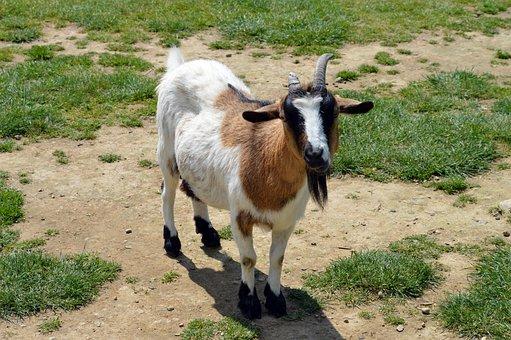 Goat, Mammal, Nature, Horns, Animal, Ruminant, Farm
