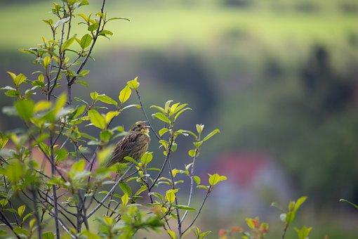 Yellowhammer, Songbird, Nature, Tree, Birds, Twitter