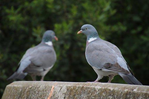 Pigeons, Birds, Ornithology, Nature, Animals, Wings