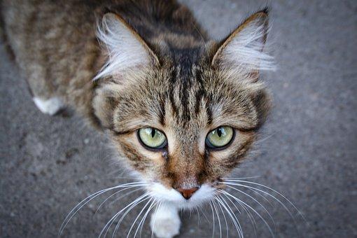 Cat, Outdoor Cat, Animals, Pet, Cute, Wool