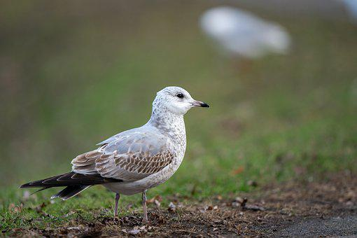 Common Gull, Larus Canus, Bird, Avian, Park, Grass