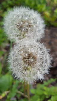 Dandelion, Blossom, Bloom, Nature, Plant, Flower