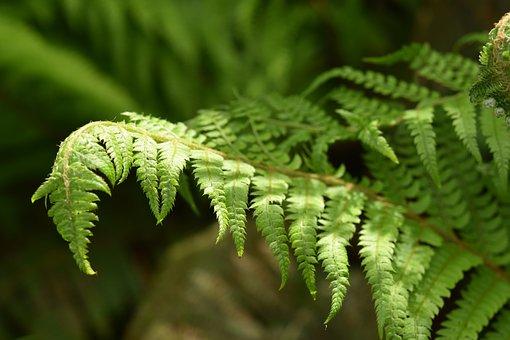 Fern, Filicophyta, Plant Outdoor, Green