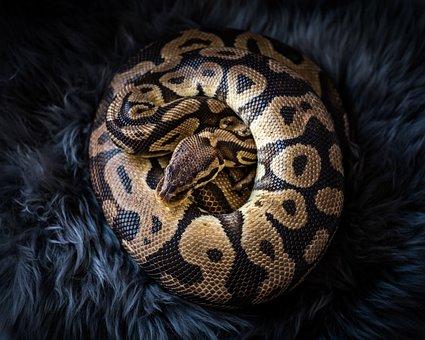 Snake, Python, Animal, Reptile, Snakes, Fur