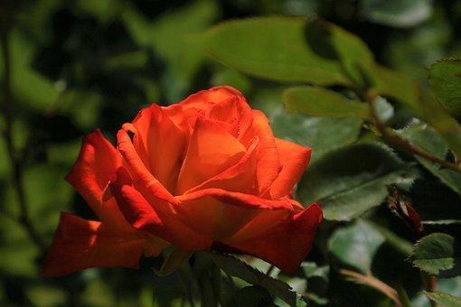 Rose, Spring, Nature, Pink, Romantic, Love, Garden