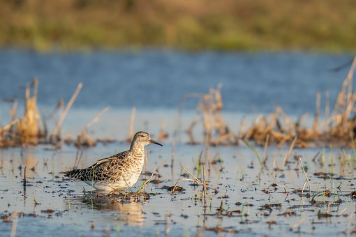 Ruff, Philomachus Pugnax, Bird, Avian, Wader, Lake
