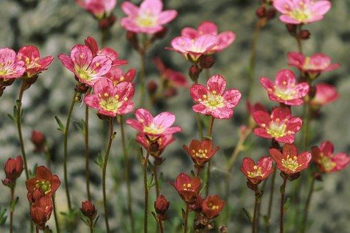 Saxifrage, Flowers, Saxifraga, Plant, Small