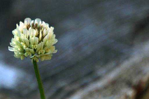 Clover, Flower, Nature, Meadow, Wildflower, Spring