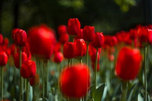 Red, Tulip, Flowers, Bloom, Spring, Nature, Flower