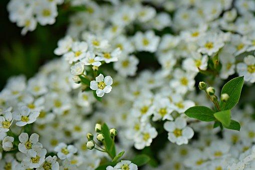 White Alyssum, Flower, Shrub, Spring, Garden