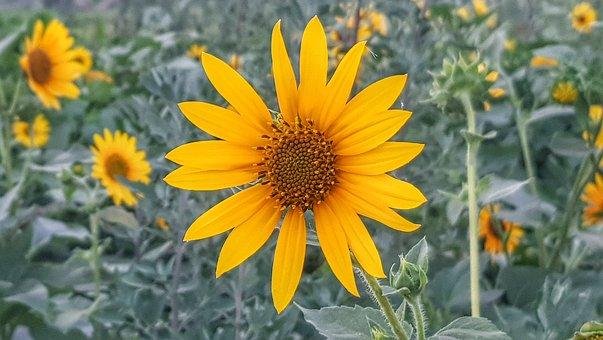 Sunflower, Flower, Bloom, Yellow, Summer, Blossom