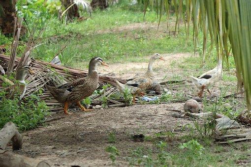 Ducks, Three, Leaf, Bird, Water, Pond, Swimmer, Lake