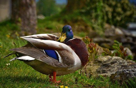 Duck, Drake, Water Bird, Mallard, Bird, Animal, Plumage