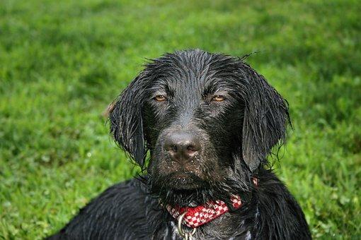 Wet Dog, Flat Coated Retriever, Wet Puppy, Wet Pup
