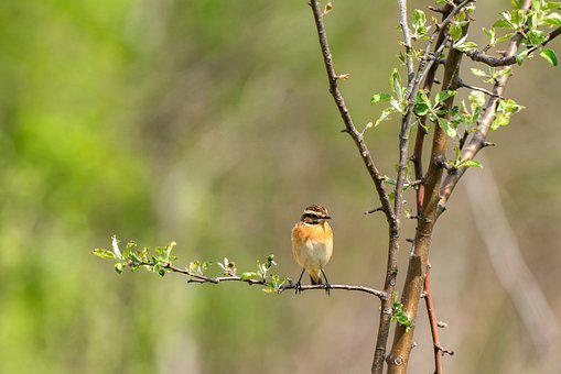 Whinchat, Saxicola Rubetra, Bird, Avian, Animal