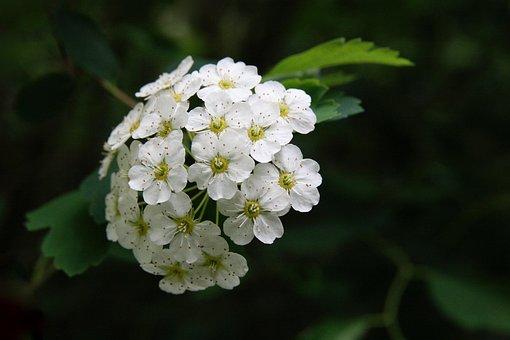 Spierstrauch, Blossom, Bloom, Flower Umbel, White