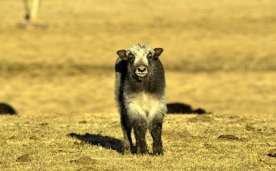 Baby Yak, Yak Cub, Cub, Yak, Animal, Livestock
