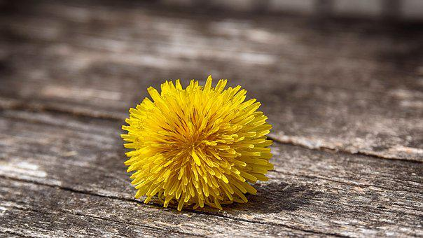 Dandelion, Yellow, Green, Spring, Flower, Plant