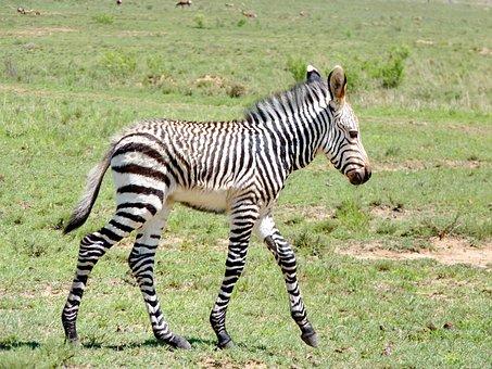 Zebra, Zebra Baby, Young Zebra