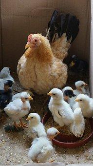 Animal, Farm, Agriculture, Nature, Cute, Bird, Grass