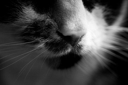 Cats, Nose, Cat, Animal, Pet, Feline, Eye, Whiskers