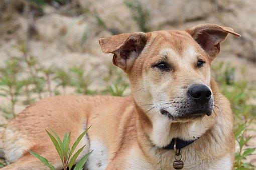 Dog, Laying Down, Collar, Brown, Animal, Pet, Gass