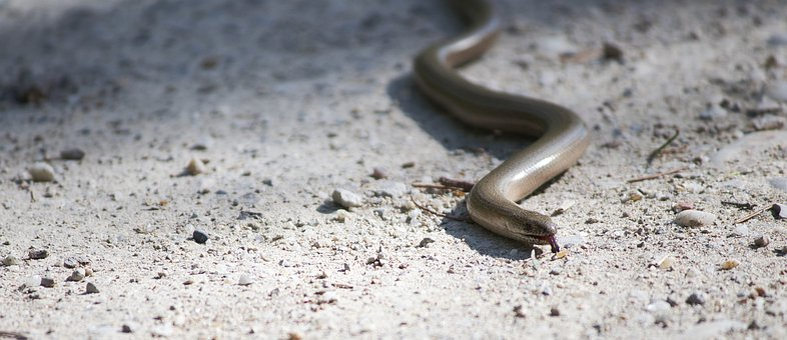 Slow Worm, Auenwald, Animal, Nature, Animal World, Wild