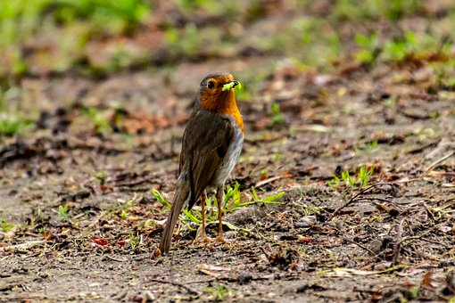 Red Goblets, Bird, Nature, Animal World, Songbird