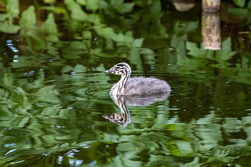 Great Crested Grebe, Baby, Chicks, Animal, Nature