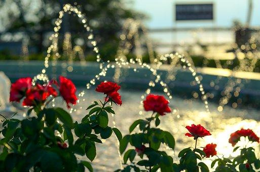 Roses, Bokeh, Backlit, Flower, Background, Page