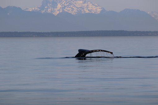 Humpback, Whale Tail, Mountain, Whale, West Coast, Bc