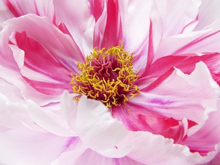 Peony, Paeonie, Blossom, Bloom, Close Up, Pink, Beauty