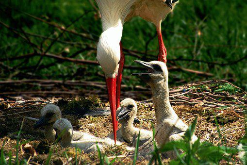 Stork, Bird, Chicks, Baby, Nature, Nest, Birth