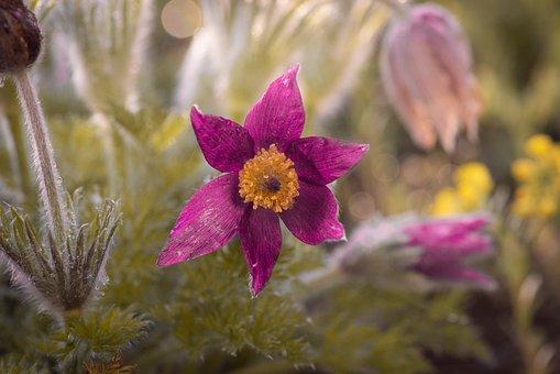 Anemone, Garden, Nature, Flora, Flower, Blossom, Bloom